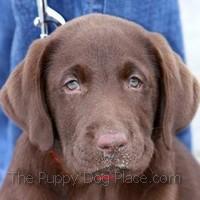 chocolate labrador retriever pup Oakle