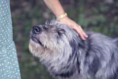Senior dog with owner