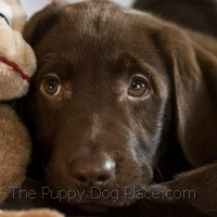 chocolate lab pup Ollie