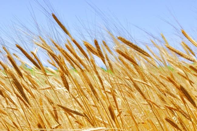 Organic grain growing in the sunshine