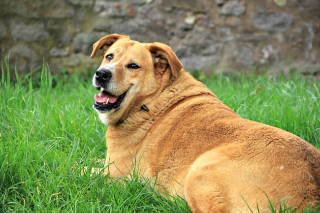 Overweight adult dog resting in the grass