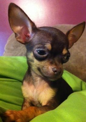 Chihuahua puppy Peanu