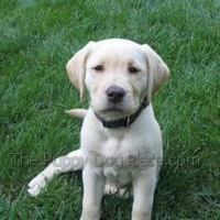 cream labrador retriever puppy Penn