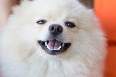 Pomeranian Care New Owner S Guide