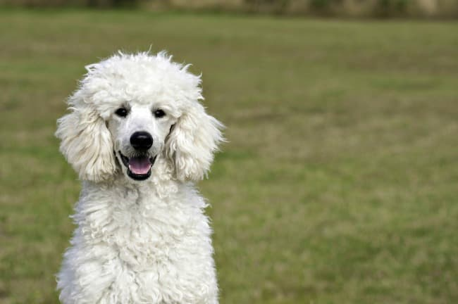 White Poodle sitting on grass