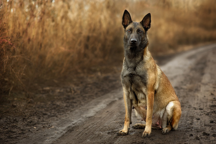 Pregnant Belgian Malinois dog on walk