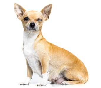 Pregnant chihuahua dog