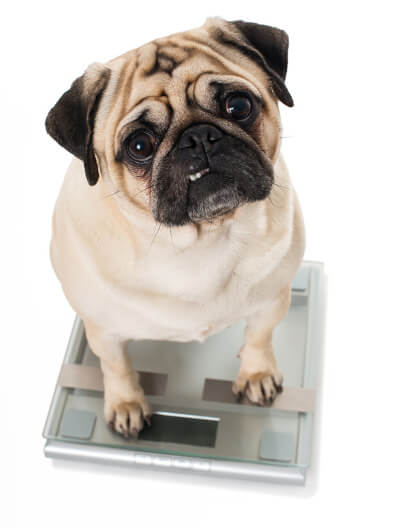Pug being weighed on scales