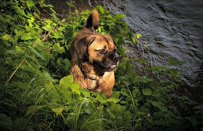 Puggle on a riverbank