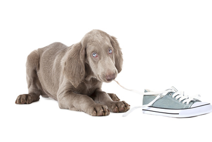 Puppy chewing on shoelaces