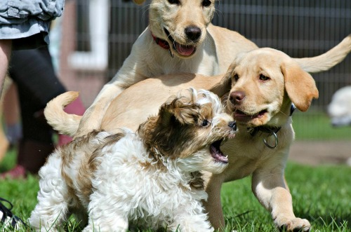 Puppies of various breeds playing