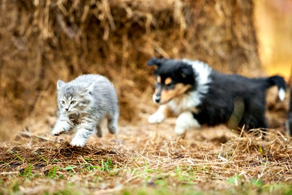 Puppy chasing a kitten