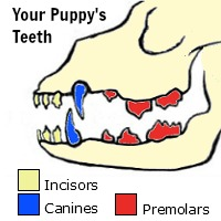 Puppy Teeth Identification