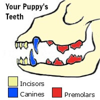 Puppy teeth infographic