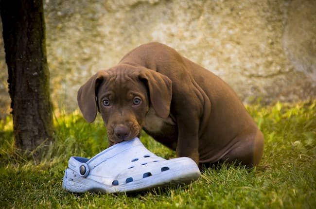Puppy with shoe in his mouth