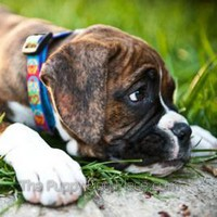 Boxer pupReilly likes to daydream