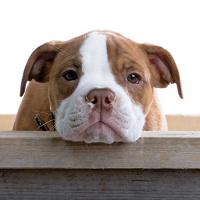 bulldog puppy face