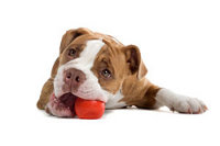 puppy playing with red ball