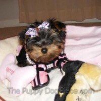 Yorkie puppy Rhianna loves pink