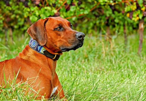Rhodesian Ridgeback dog learning the 'Stay' command