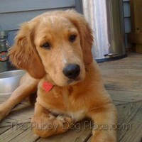 Golden Retriever puppy Riley