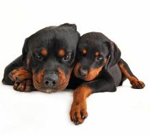 rottweiler dog with puppy