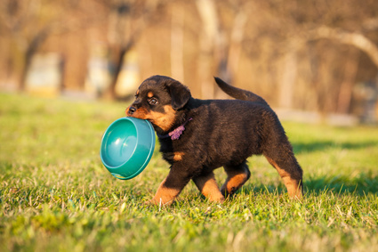 Rottweiler puppy with empty food bowl