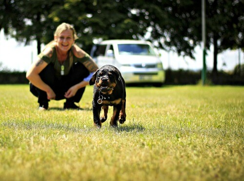 Happy Rottweiler puppy during training session
