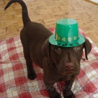 chocolate lab puppy Roxy on St. Patrick's Day