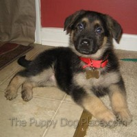 black and tan german shepherd pup Rylee