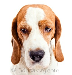 Sad Beagle dog