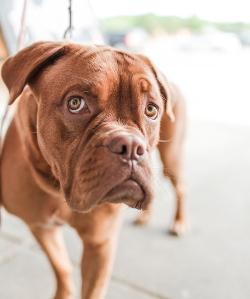 Sad dogue de bordeaux