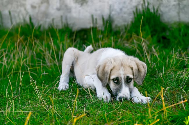 Great Pyrenees puppy lying in the grass