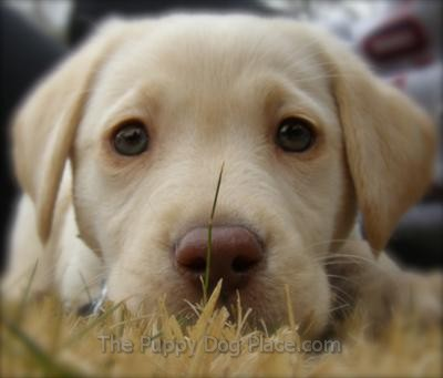The Best Lab Puppy Pictures