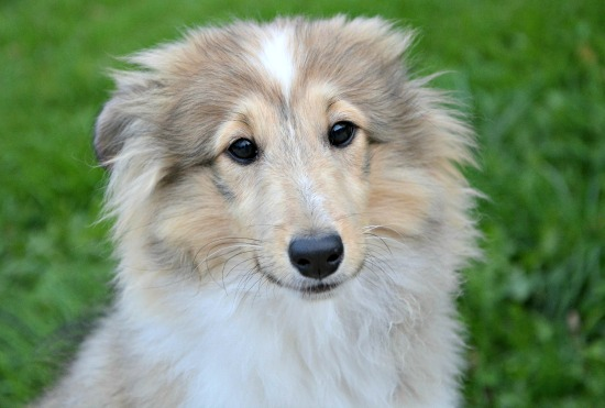 Scared Sheltie puppy