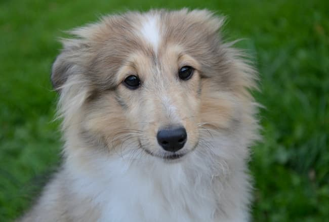 Sweet but nervous Sheltie pup