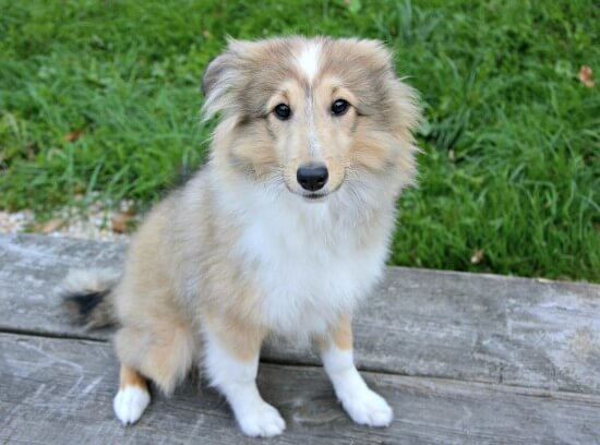 Sheltie puppy practicing 'Sit' command