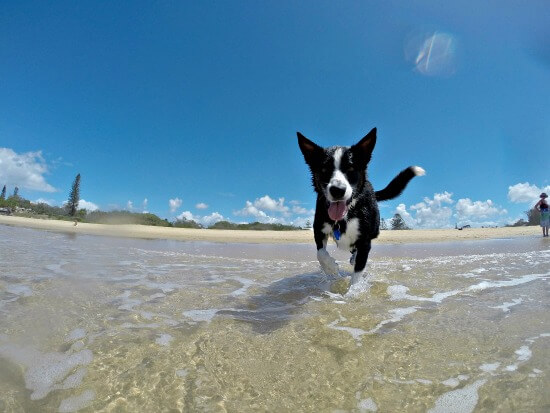 Border Collie dog at the beach