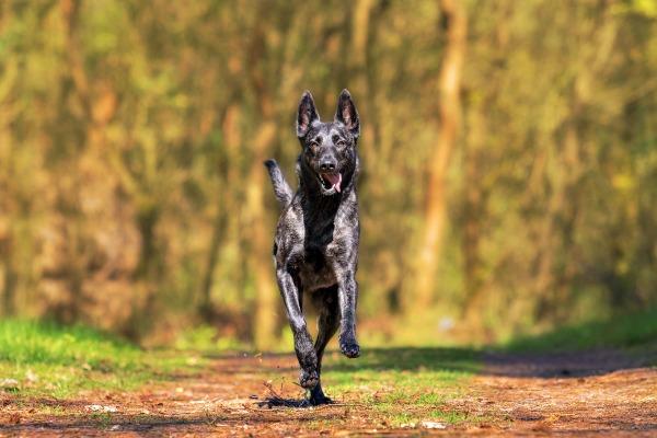 Shepherd dog practicing dog training come command