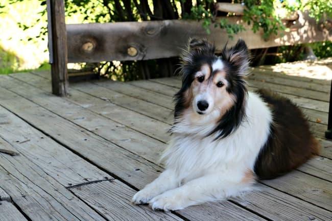 Shetland Sheepdog relaxing on wooden deck
