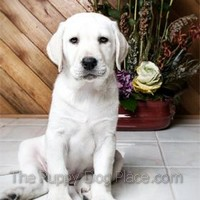 Shila a white lab pupp