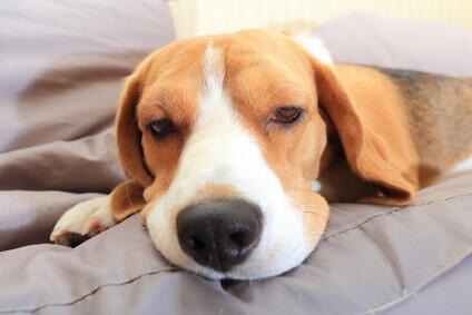 Sick Beagle pup