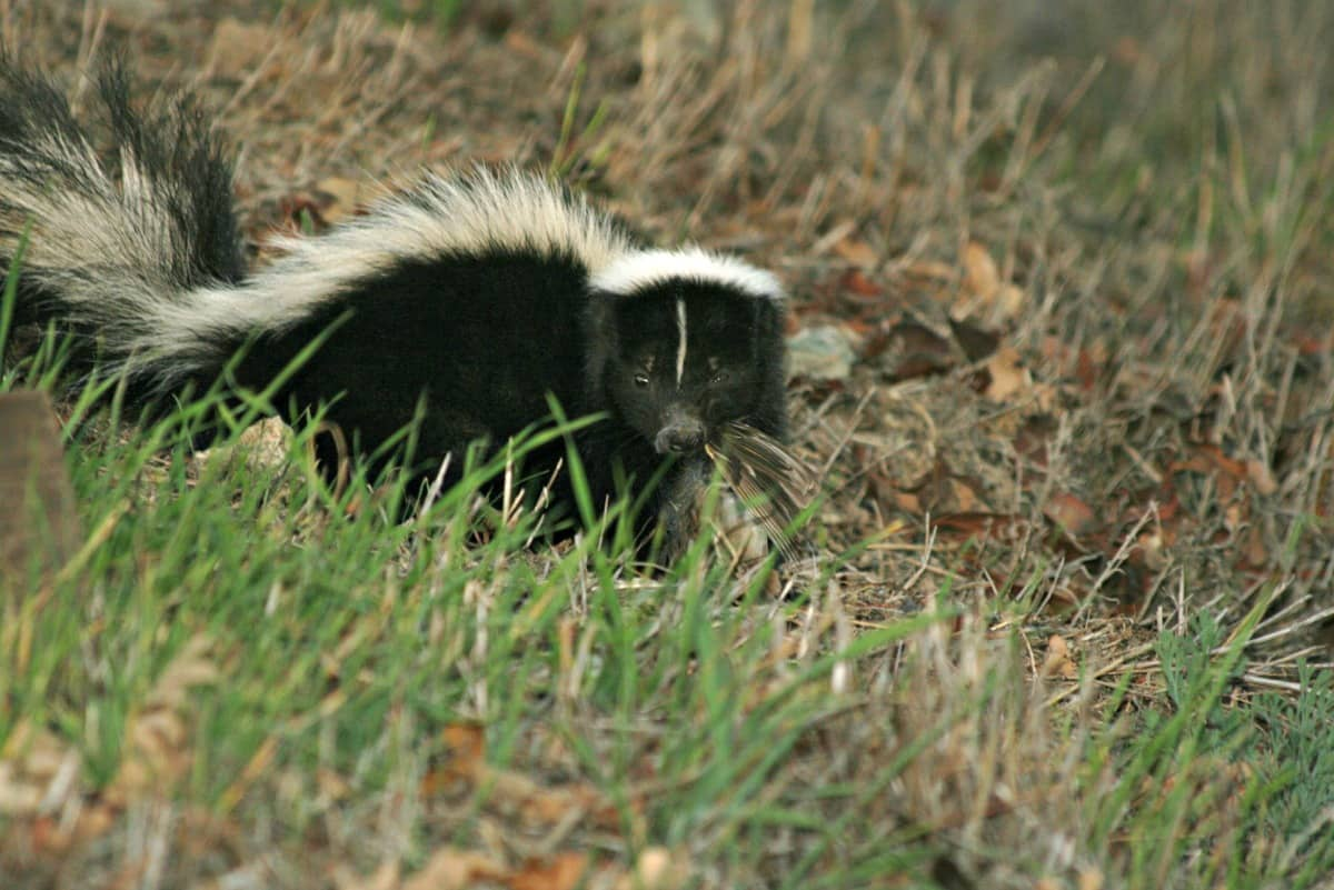 Remedies for Dog Sprayed By A Skunk