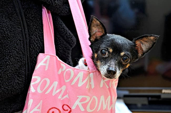 Elderly small dog being carried in pink shopping bag