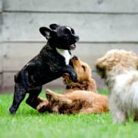 Puppies playing together and learning social skills