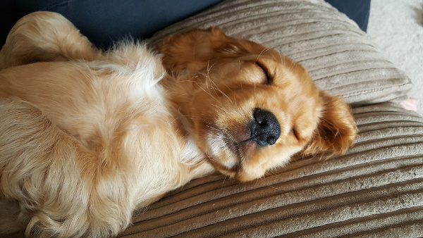 Spaniel puppy sleeping