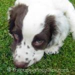 Shy Spaniel puppy