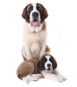 adult saint bernard and puppy