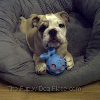 Sumo the Bulldogloves his new chewtoytoy!