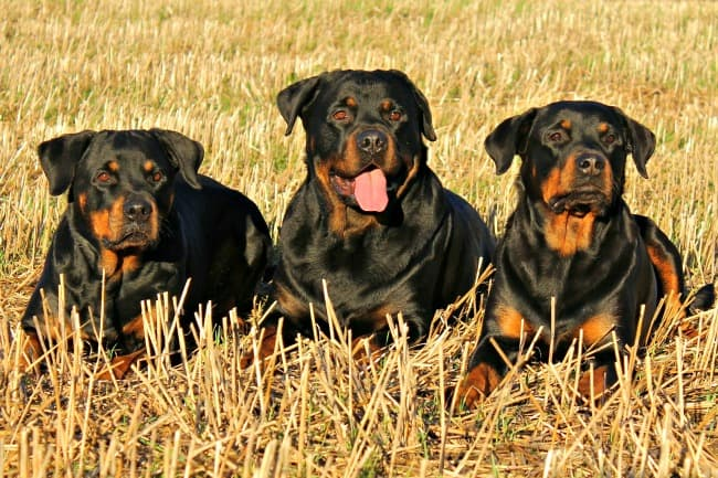 Three Rottweilers in 'Down Stay' position in a field